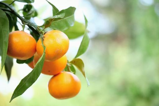 雲州 귤 과일 음식 감귤