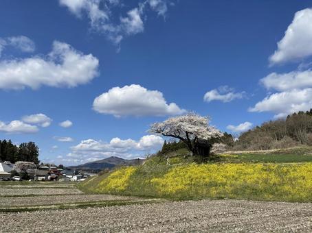 2021-04-10 논밭 가운데 오자와의 하나로 벚꽃