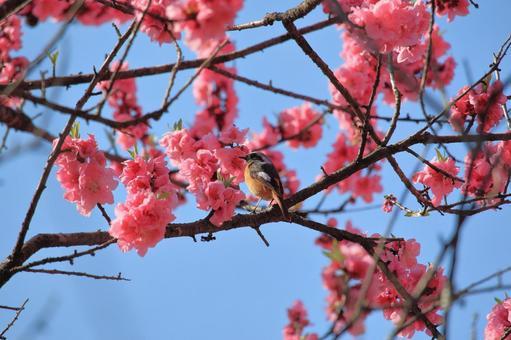 Flower peach and Daurian Redstart
