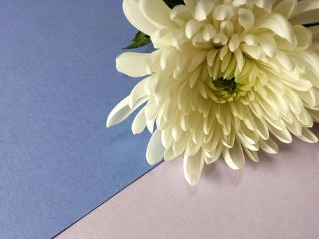 White chrysanthemum ②