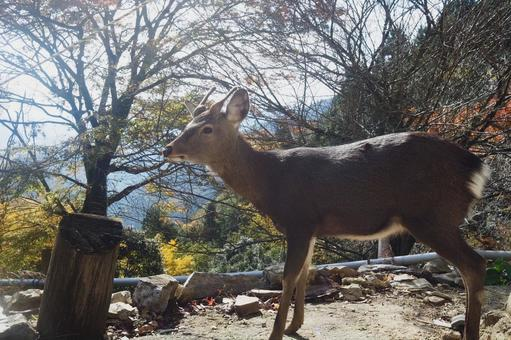 Satoyama deer