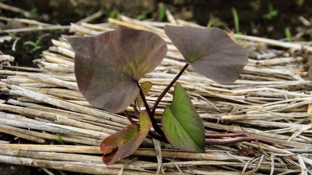 [밭 고구마 심기 모종 심기 텃밭 자연 식물 풍경 6 월