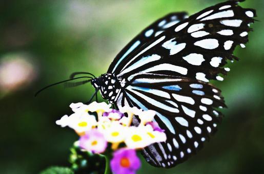 류큐 왕 나비 1