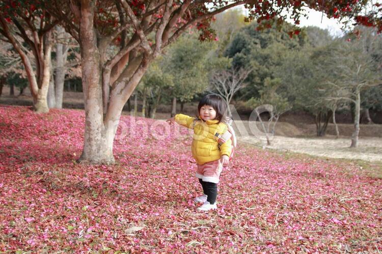 山茶花の絨毯の写真
