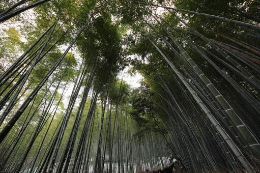 Winter bamboo grove 2