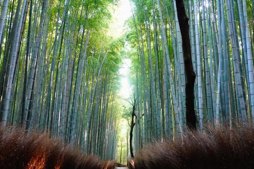 Kyoto Arashiyama Light's small diameter of bamboo grove