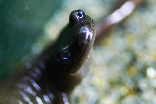 Ezo salamander