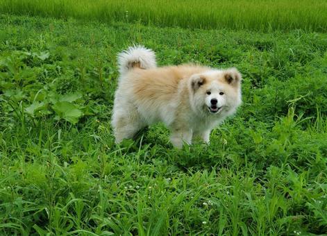 Akita dog staring at us