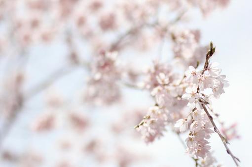 수양 벚나무 가지