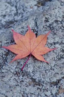 Fallen leaves of Momiji 2