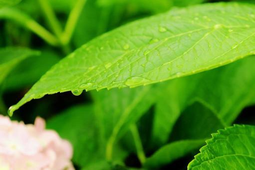 Water drops hydrangea leaves