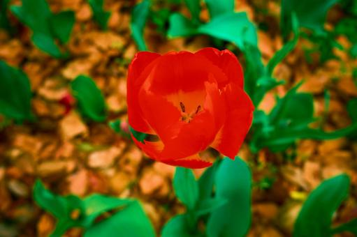 Odaiba tulips