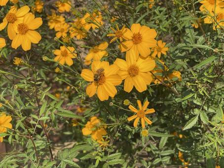 Lemon marigold and bees