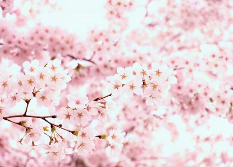 Cherry blossoms in full bloom, soft pink, background material