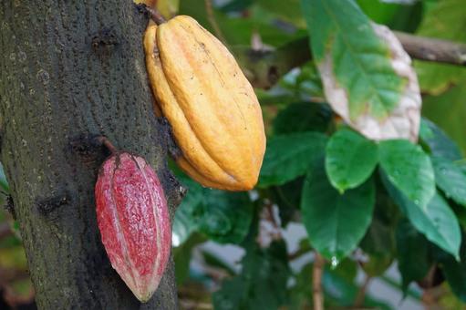 Cacao fruit cultivation landscape