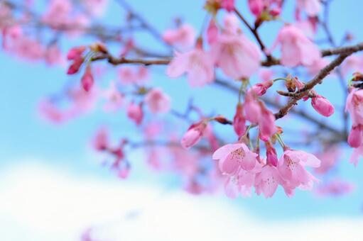 Cherry blossoms at Mizumoto Park 5