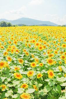 Sunflower field that blooms all over ②