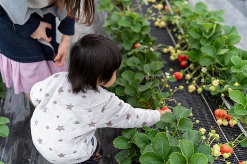Toddler strawberry picking