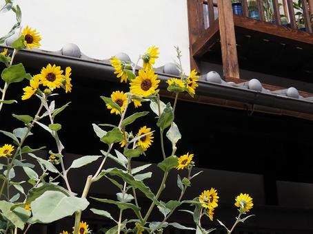 Sunflower under the eaves