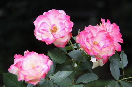 브라질 장미 꽃