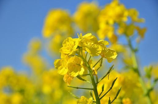 유채 꽃 4
