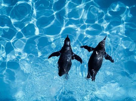 Aquarium swimming penguin Nakayoshi 2 birds cool
