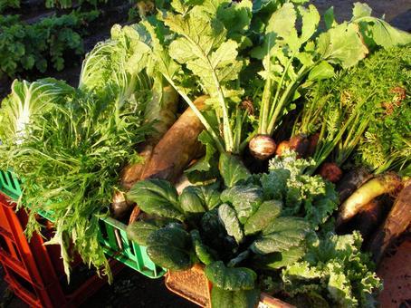 [Field] Home garden Harvested radish Mizuna Chinese cabbage Carrot Turnip lettuce Tatsoi Vegetable Nature