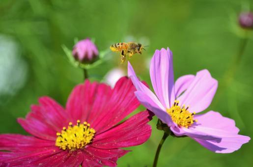 코스모스와 꿀벌