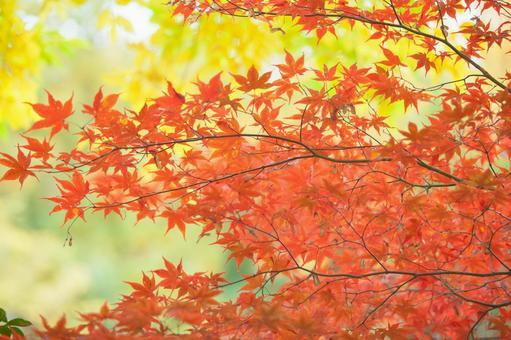 Maple autumn leaves 3
