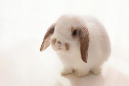 토끼 호란 드롭