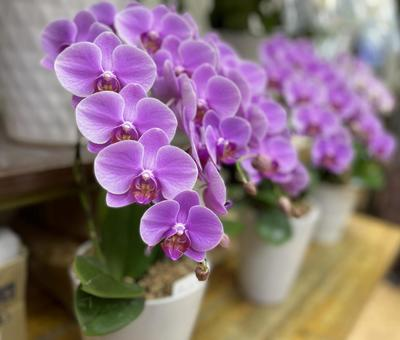 Hu Dilan/Orchid