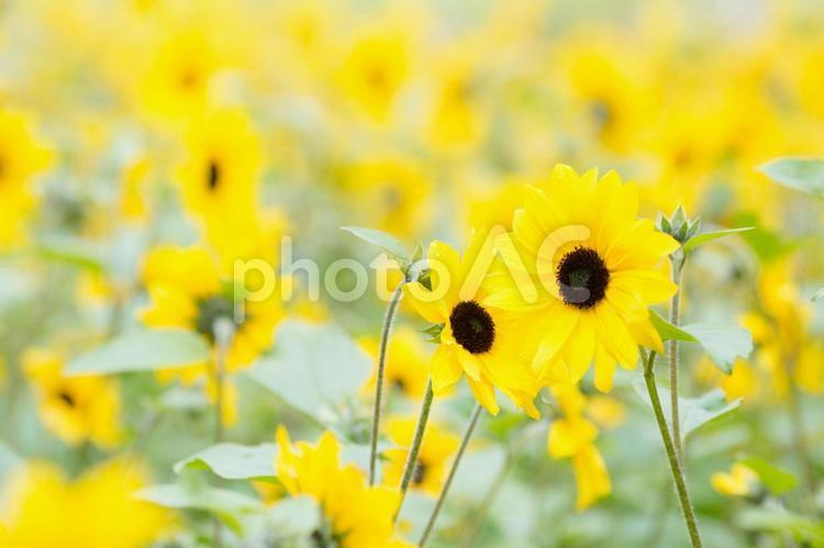 寄り添い咲く小さなヒマワリの写真