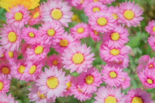 """귀여운 핑크 작은 꽃 """"로단세"""""""