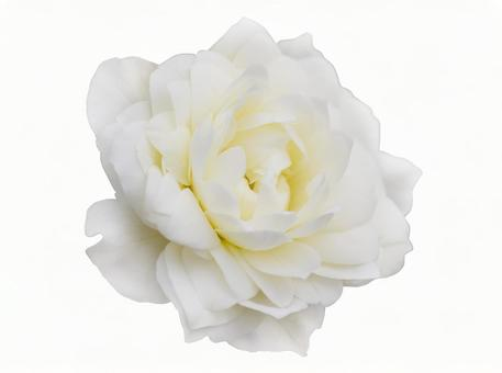White rose * See below for cutout path