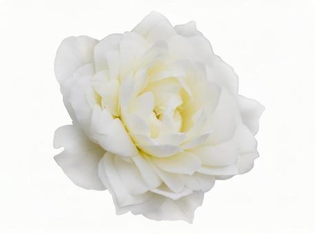흰 장미 ※ 오려 내기 경로에 대해 아래 참조