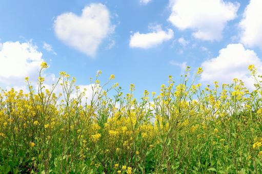 Rape blossoms and heart clouds