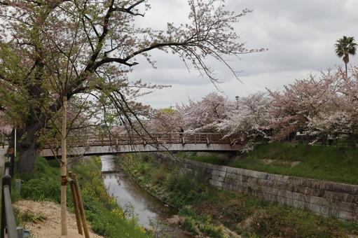 Yamazaki River Sakura Nagoya