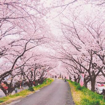 Row of cherry blossoms on the bank