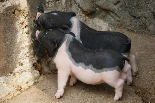 Piglets at Hongshan Forest Zoo in China