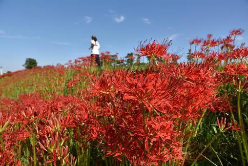 하천 부지의 피안 꽃