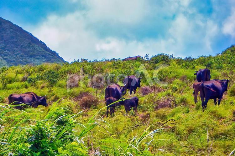 石垣島の風景 黒毛の牛の写真