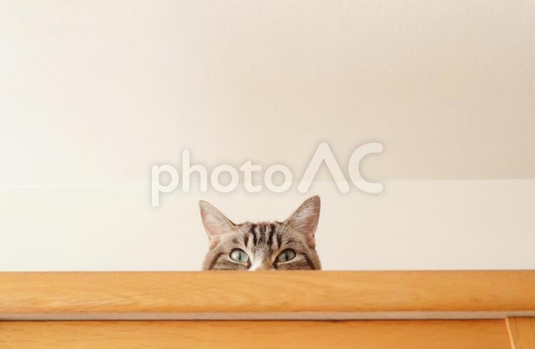 猫 ねこ ネコ 隠れる猫 のぞく猫 かくれんぼする猫 覗く猫 隠れている猫 の写真