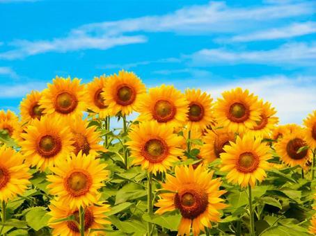 Sunflower field in Miyagi