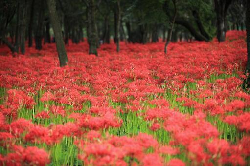 피안 꽃 1