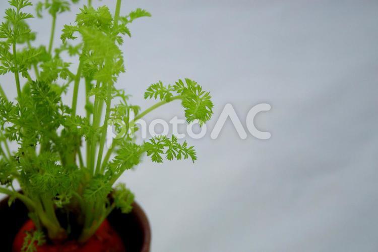 ニンジンの葉の写真