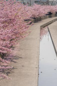 교토 부 【요도 도관 카와 벚꽃]