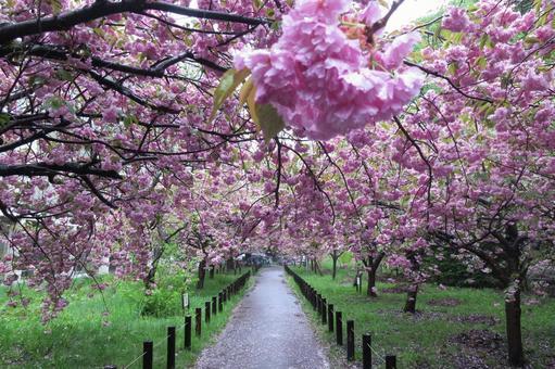 Hokkaido University cherry blossom trees