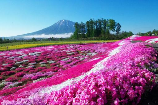 Mt. Yotei and cherry blossoms in full bloom