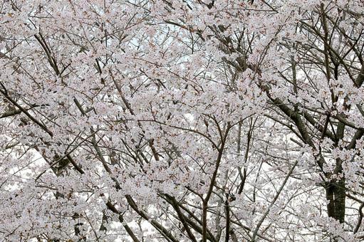 히노 江城跡의 벚꽃