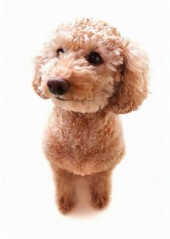 One point image-like toy poodle